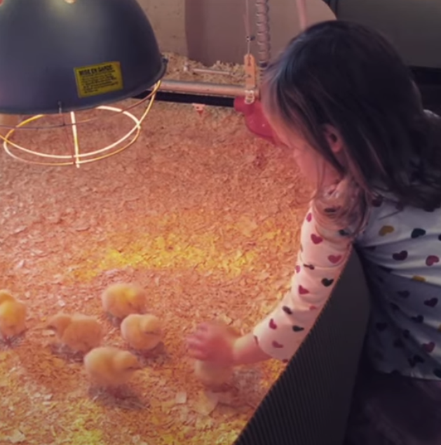 You are currently viewing Baby Chicks